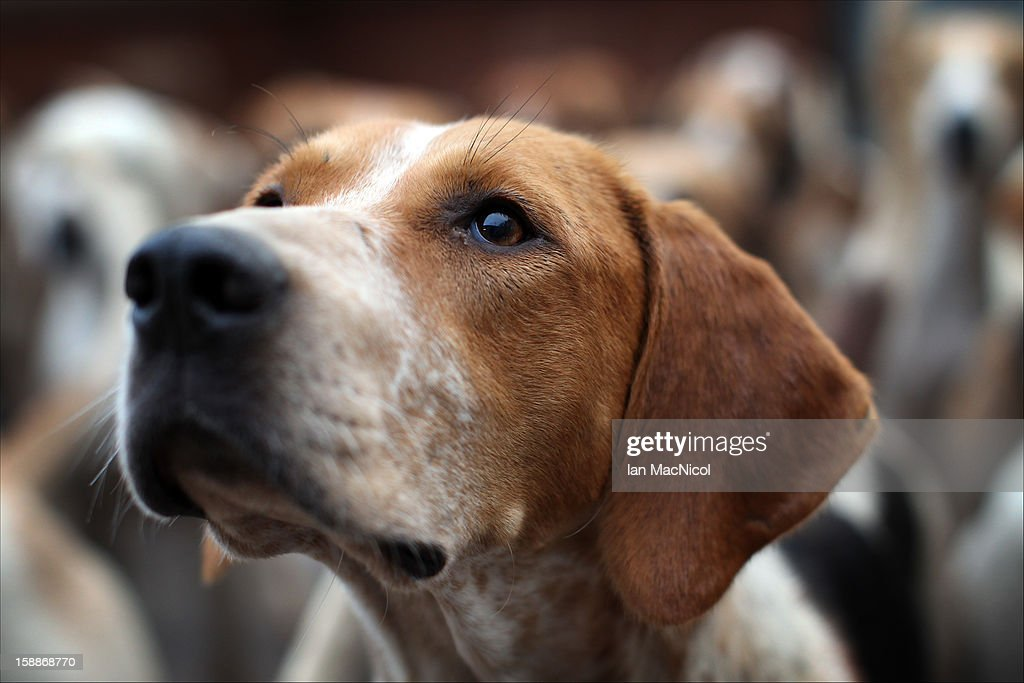 The Duke of Buccleugh's Fox hounds eagerly await being released from their kennels to take part in a fox hunt on November 08, 2011 in St Boswells, Scotland.