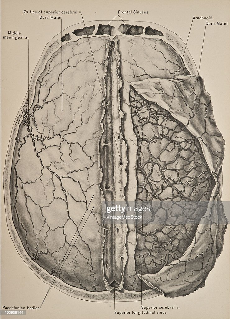 The dura mater the most external of the three membranes of the brain forms the internal periosteum of the skull and affords an excellent protection...