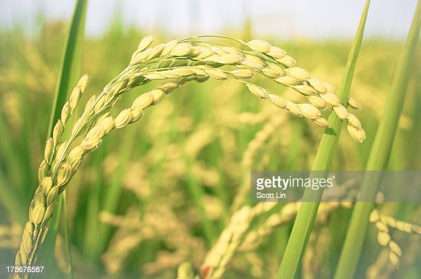The ear of rice
