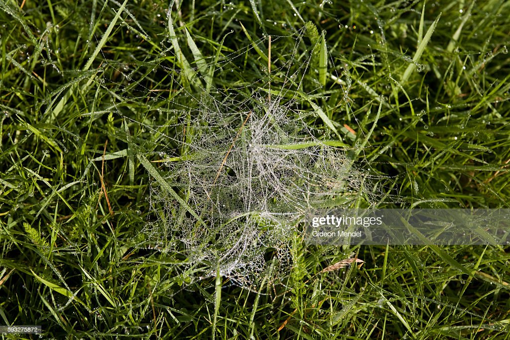 The early morning sun lights up the dew resting on a spider web in the gardens of Hazelwood House an early Victorian house set in 67 acres of...