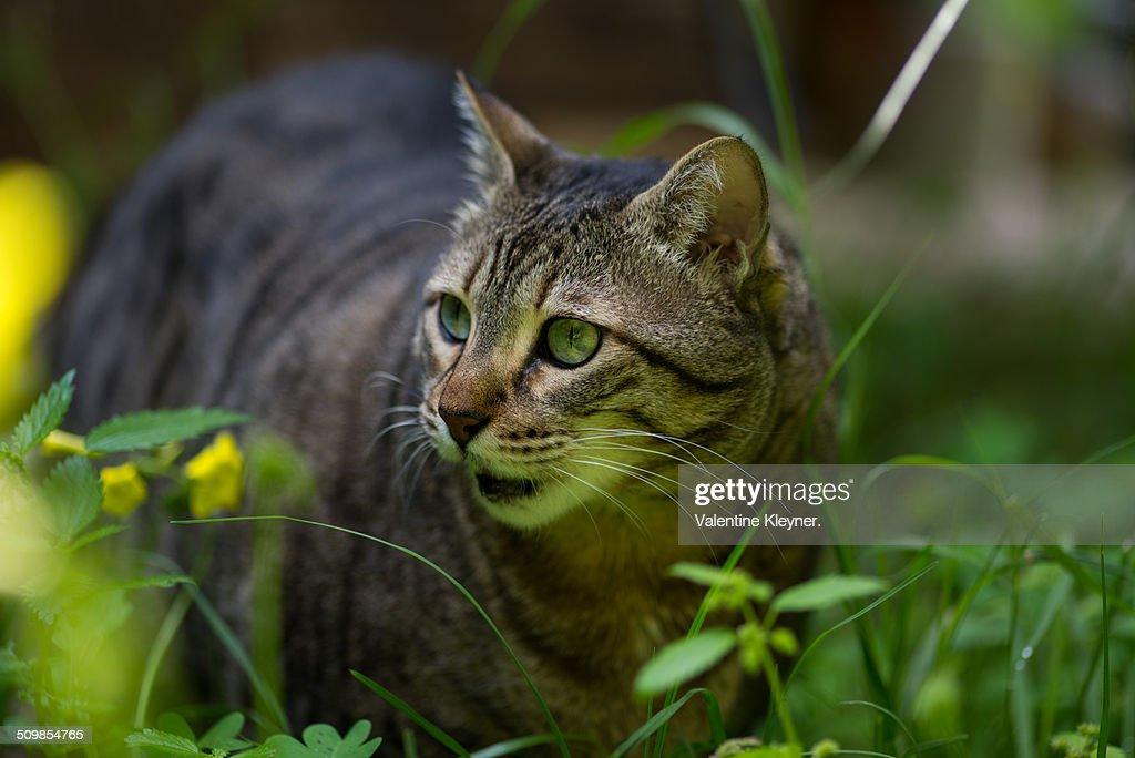 The Egyptian Mau Cat