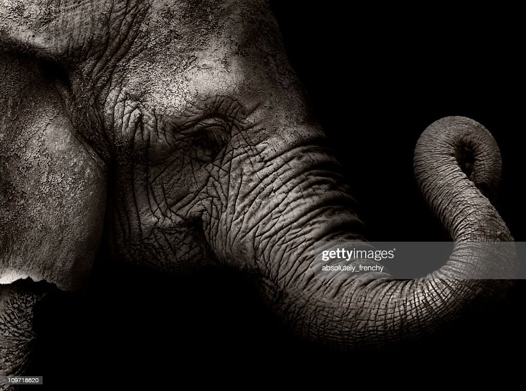 The elephant : Stock Photo
