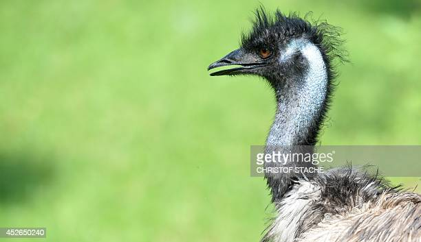 The Emu father named Kanoro is pictured in the enclosure in the Munich's Hellabrunn zoo on July 25 2014 The eight small Emu chicks were born in early...
