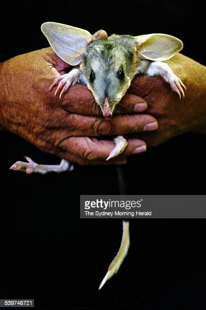 The endangered Bilby which is on show at Brisbane's EKKA Show One of the twin Bilbies Tracey 5 months shown by Frank Manthey a Wildlife Strategy...