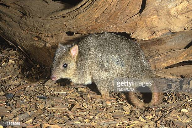 The endangered Brushtailed Bettong ( Bettongia pencilata ) Lives in woodland and prefers a diet of fungi.