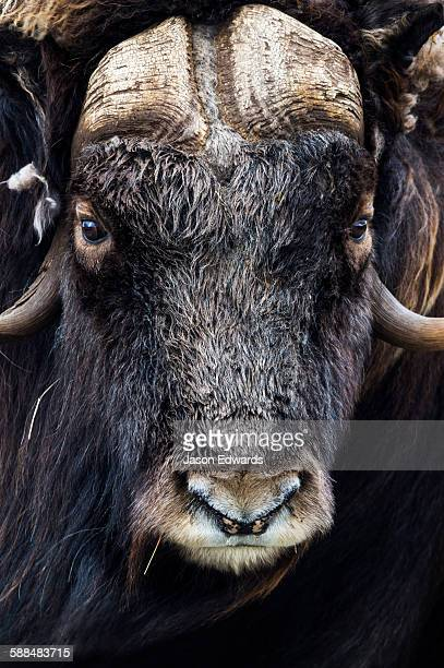 The enormous horned head and intense stare of a cautious Musk Ox.