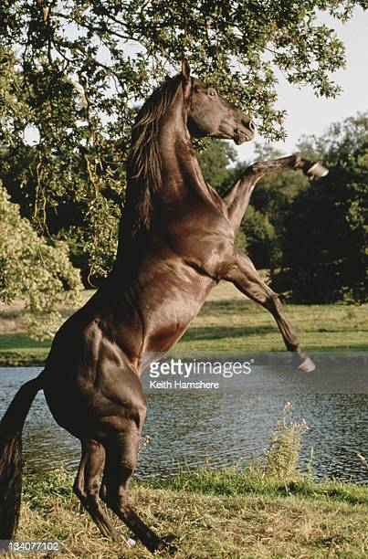 The equine star of the film 'Black Beauty' 1994