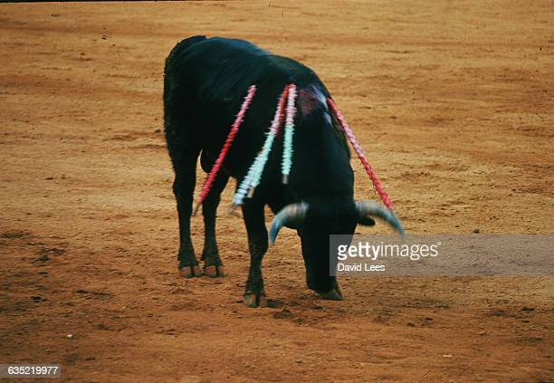 The exhausted bull stands his head down and his back bleedibf from the wounds of the lances | Location Madrid Spain