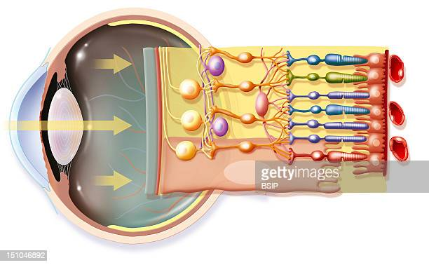 The Eye And The Retina Focus On The Stucture Of The Retina From The Left To The Right Vitreous Body In Grey Internal Limiting Membrane In Red...