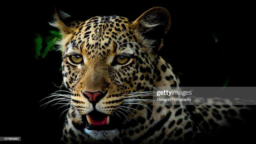 The eye of the leopard : Stock Photo