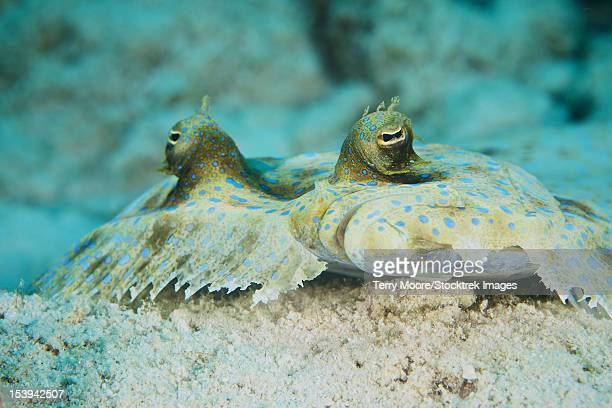 The face of a Peacock Flounder camouflaged on the ocean floor, Bonaire, Caribbean Netherlands.