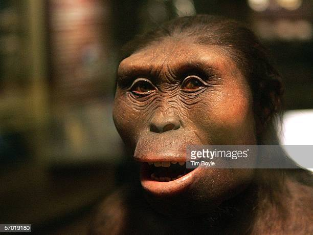 The face of 'Lucy' an Australopithecus afarensis and part of the 'Evolving Planet' exhibit is displayed at the Field Museum March 7 2006 in Chicago...