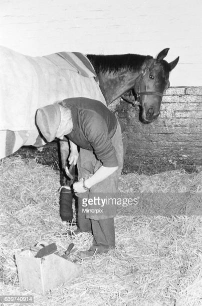 The famous champion racehorse Red Rum in active retirement at Ginger McCain's stables in Southport Merseyside is attended to by blacksmith Bob...