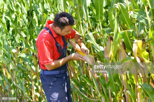 The farmer in the corn field, checking the maturity of the corn.
