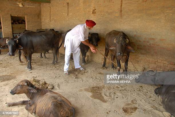 The father of newly drafted Indian NBA basketball player Satnam Singh Balbir Singh Bhamara tends to his cattle at the family home in the village of...