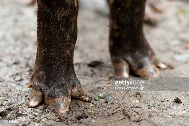 The feet of a South American tapir