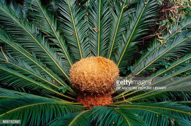 The female reproductive structure of the sosetsu or sago palm Cycalidaceae from Tenerife