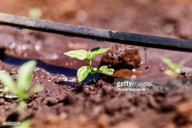 The field of a farm on which plants grow with the support of the irrigation system of local farming cooperative Mitooini The field of a farm on which...