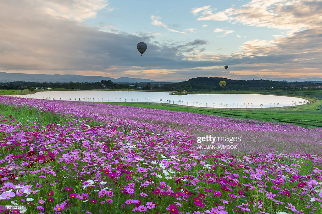CONTENT] The field of cosmos flowers at Boonrawd farm which located at Chiang Rai province Thailand Chiang Rai province is in the northern of...