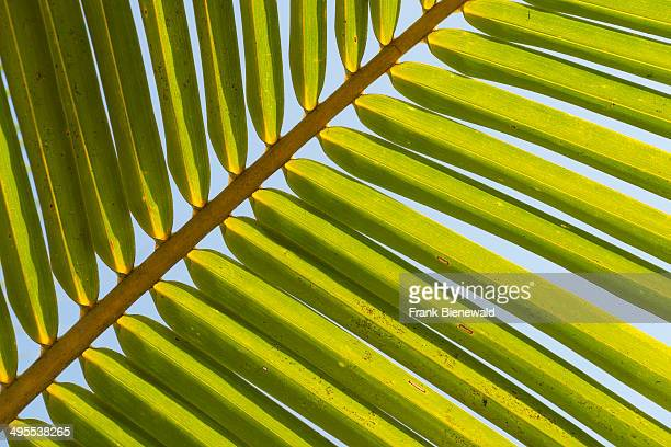 The fine structure of a green palm leaf seen against the blue sky