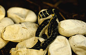 The first ever hatching of a young King Cobra in Australia at the Australian Reptile Park 9 January 2007 SMH NEWS Picture by LISA WILTSE