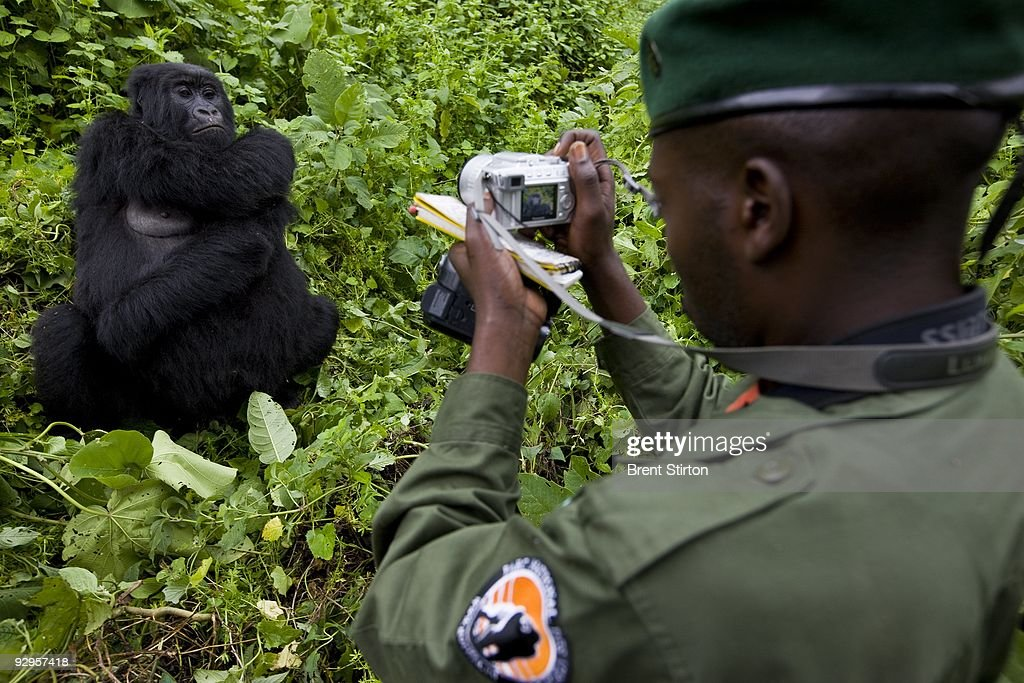 The first sighting of Mountain Gorilla by Congolese Conservation Authorities in over 15 months, November 25, 2008 in the Democratic Republic of Congo. There appear to be at least 5 new births in the Kabirizi family. The Gorilla Sector of the Park has been occupied by the rebel movement CNDP under rebel Congolese Tutsi General Laurent Nkunda. Since September 2007 no ICCN Ranger has set foot in this sector, almost all had to flee the fighting and it has not been safe to return. Recent violence in the region has seen CNDP extend its power in the region and it now controls over 50% of the park and all of the Southern section. Emmanuel De Merode, the Director of Virunga National Park, has performed some remarkable diplomacy since the recent fighting and has succesfully negotiated with CNDP and General Nkunda to return the ICCN Rangers to the Park. This is a fragile process but so far 120 courageous Rangers are back at the Southern Headquarters at Rumangabo and there is a camp in the Gorilla Sector at Bukima which has begun a Gorilla census to determine the effects of the war on the mountain Gorilla population. It is a remarkable case of conservation winning out over politics. The DRC had just over 200 of the extremely rare mountain Gorillas, of which there are only 680 in the world.