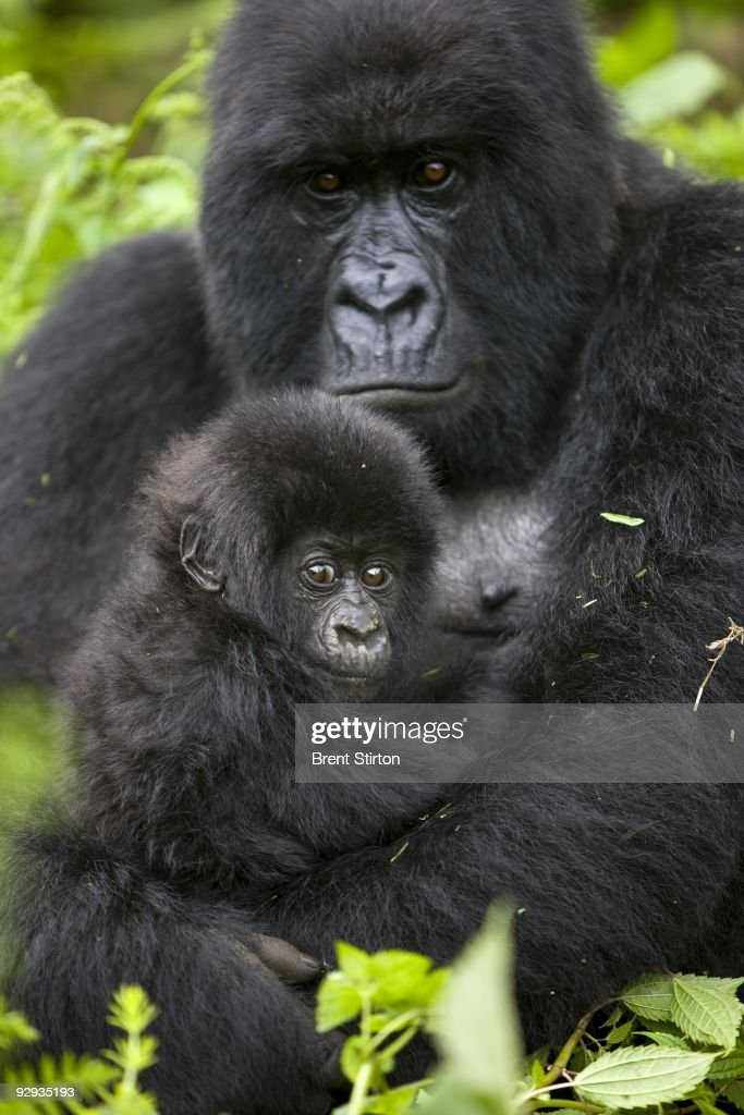 The first sighting of new Mountain Gorilla babies in the family of Kabirizi, November 25, 2008. There appear to be at least 5 new births in the family. This is the first sighting of Mountain Gorillas in Virunga National Park by ICCN Congolese Conservation Authority rangers in over 15 months. The Gorilla Sector of the Park has been occupied by the rebel movement CNDP under rebel Congolese Tutsi General Laurent Nkunda. Since September 2007 no ICCN Ranger has set foot in this sector, almost all had to flee the fighting and it has not been safe to return. Recent violence in the region has seen CNDP extend its power in the region and it now controls over 50% of the park and all of the Southern section. Emmanuel De Merode, the Director of Virunga National Park, has performed some remarkable diplomacy since the recent fighting and has succesfully negotiated with CNDP and General Nkunda to return the ICCN Rangers to the Park. This is a fragile process but so far 120 courageous Rangers are back at the Southern Headquarters at Rumangabo and there is a camp in the Gorilla Sector at Bukima which has begun a Gorilla census to determine the effects of the war on the mountain Gorilla population. It is a remarkable case of conservation winning out over politics. The DRC had just over 200 of the extremely rare mountain Gorillas, of which there are only 680 in the world.