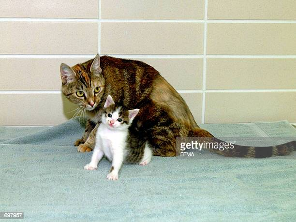 The first successfully cloned cat named 'copycat' or 'cc' is shown here at 7weeksold with Allie her surrogate mother February 14 2002 in College...