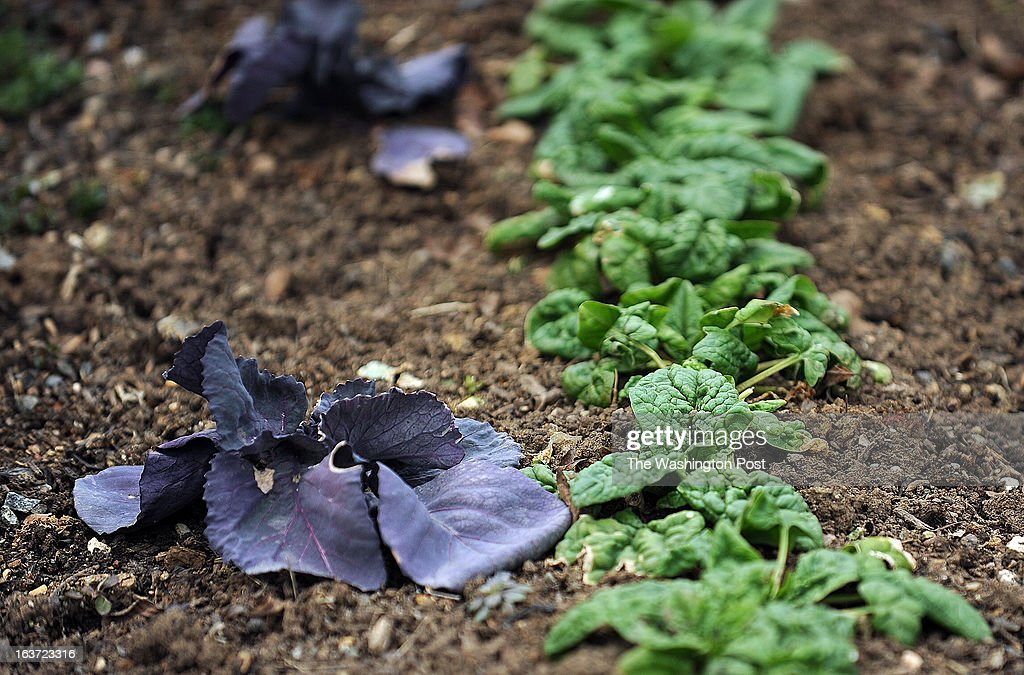 The first vegetables break through the soil at the gardens of Patowmack Farm in Lovettsville, an all organic restaurant which has grown and served its organic food for 40 years.