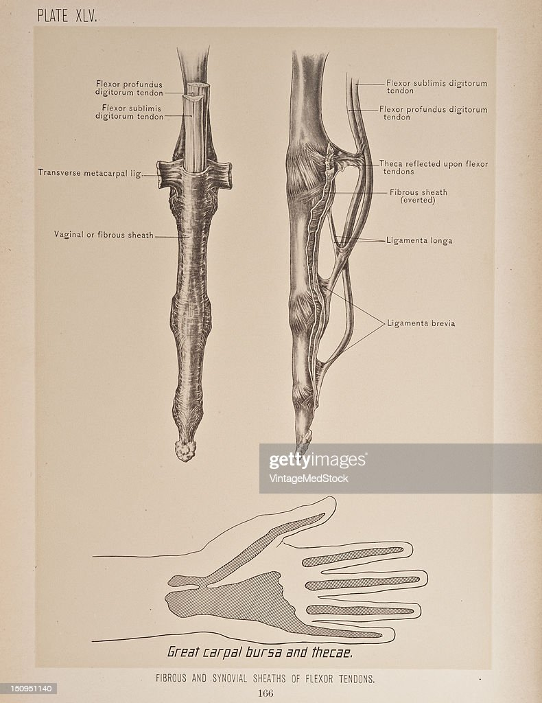 The flexor tendons cross the wrist in a large compartment beneath the anterior annular ligament the outermost being that for the flexor longus...