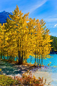 The flooded coastal aspen grove. Picturesque turquoise Abraham Lake in a flood. Journey to the Golden Autumn in Rocky Mountains. The concept of ecological and active touris