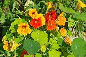 Flowers nasturtium (lat. Tropaeolum) in the garden