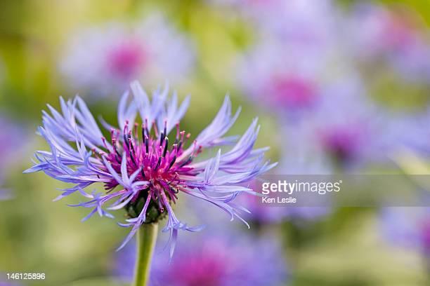 The flowers of Centaurea Montana.