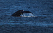 The fluke of a whale is seen as it swims in the water on July 27 2013 in Nuuk Greenland Nuuk the capital of the country of about 56000 people is...