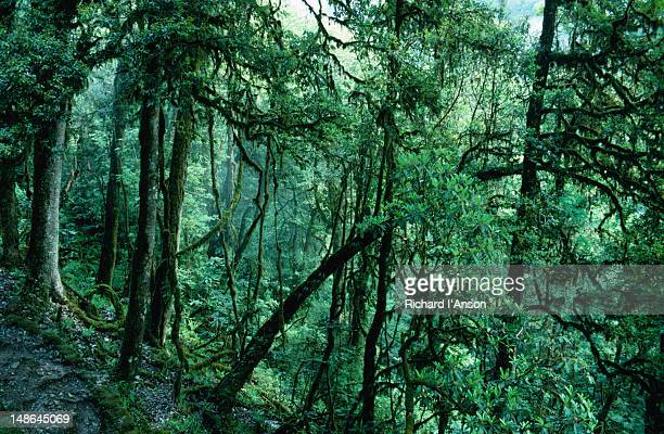 The forest above the village of Bakkhim in Sikkim.