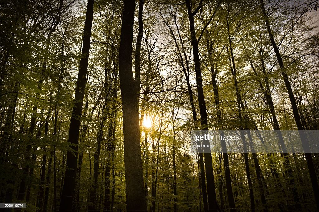 The Forest in Winter at Sunset : Stock Photo