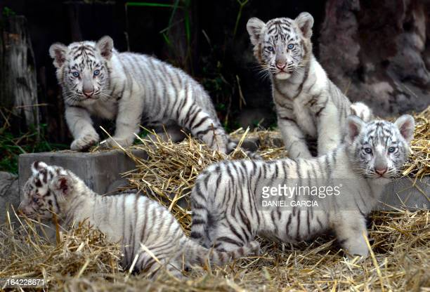 The four white Bengal tigers born in captivity on January 14 2013 at the Buenos Aires zoo play during their presentation on March 21 2013 Their...