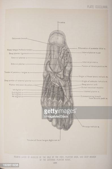 The fourth layer the interossei three in number 1903 From 'Surgical Anatomy The Treatise of the Human Anatomy and Its Applications to the Practice of...