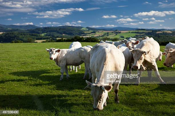 AUVERGNE FRANCE VICHY AUVERGNE FRANCE The French Charolaise cattle race white cows specifically bred for their beef meat grazing in the green fields...