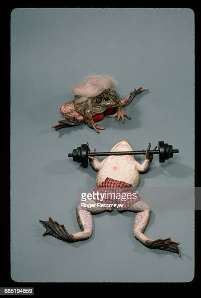 The frogs at Bill Steed's Croaker College are trained mentally and physically for frog jumping contests The weightlifting frog is Jelly Bean a frog...