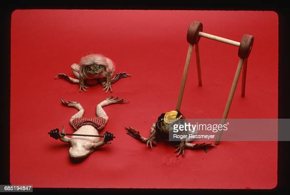 The frogs at Bill Steed's Croaker College receive mental and physical training for jumping contests The weight lifting frog is Jelly Bean a frog...