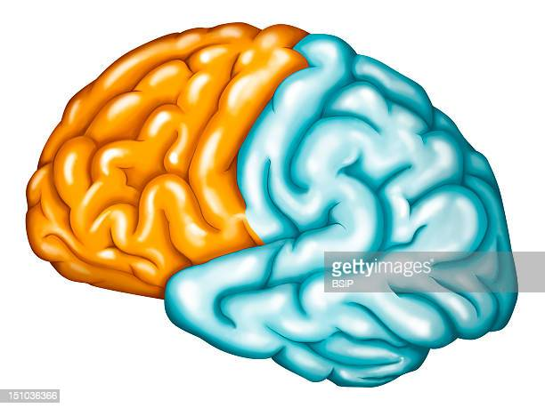 The Frontal Lobe Of The Brain See Image For The Division Of The Frontal Lobe Into Functionnal Areas Prefrontal Cortex Pre Motor Cortex Primary Motor...