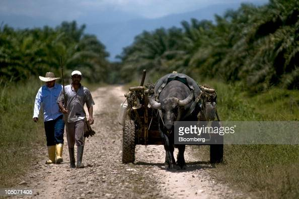 The fruit from oil palm trees is transported to a production facility in Cumaral Colombia on Friday Oct 1 2010 Palm oil futures rallied for a sixth...
