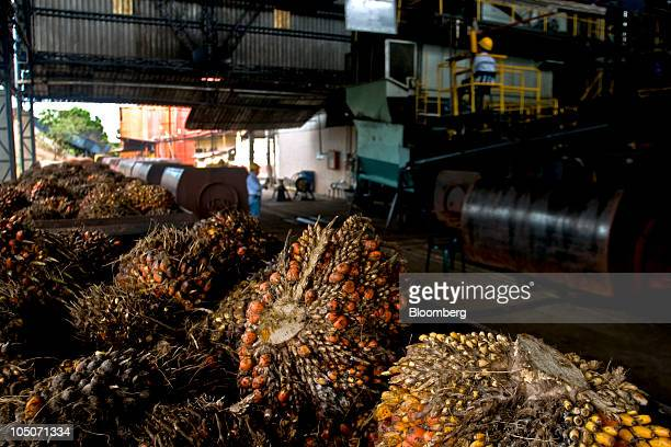 The fruit from oil palm trees waits to be processed at a production facility in Cumaral Colombia on Friday Oct 1 2010 Palm oil futures rallied for a...