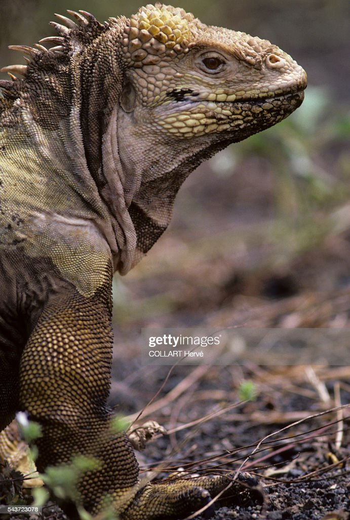 The Galapagos Land Iguana is a species of lizard in the Iguanidae family endemic to the Galápagos Islands