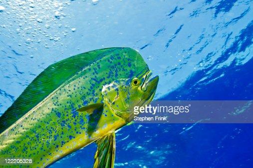 The Gamefish, Coryphaena hippurus, or Dolphin