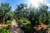The ancient and well-kept Garden of Gethsemane in holy Jerusalem. Branched olive trees and smooth paths.  The concept of historical, religious and ethnographic tourism