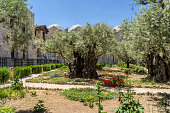 The Garden of Gethsemane near the Church of All Nations on the Mount of Olives in Jerusalem, Israel