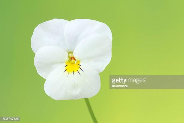The garden pansy flower (white viola)