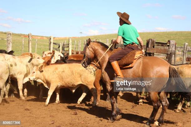 The gaucho leading the cattle for vaccination.